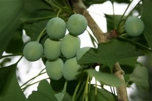 Ginkgo biloba seeds