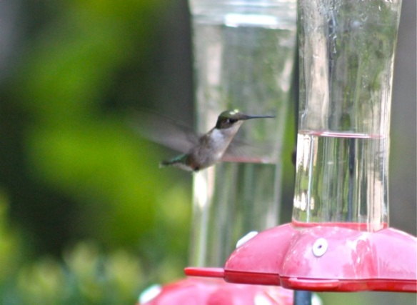 leucistic Ruby-Throated Hummingbird in Ware Neck VA