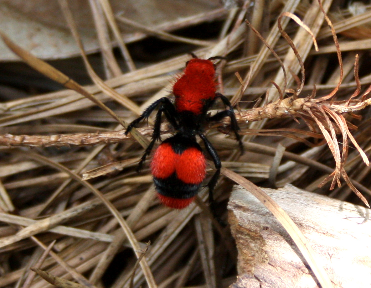 The Cow Killer Also Known As Red Velvet Ant Breaking New Ground In Zone 6