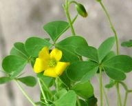 common yellow wood sorrel oxalis
