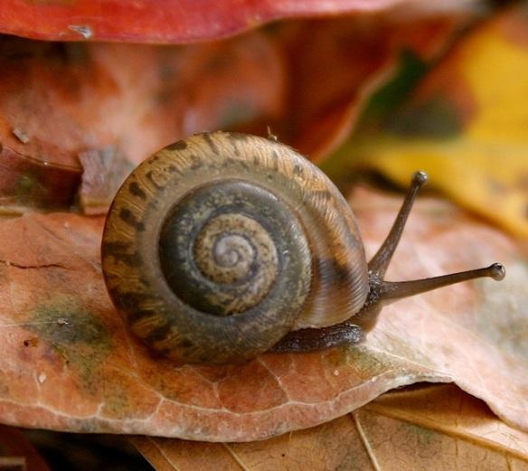 Edible Brown Garden Snail