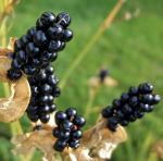 blackberry lily seeds