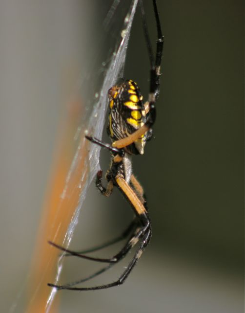 Argiope waiting for her meal
