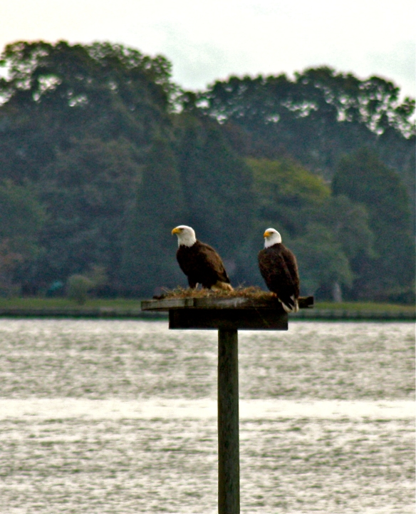 When the osprey are away, the eagles will play!