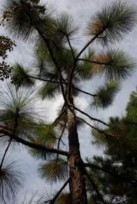 My longleaf pine in the Secret Garden