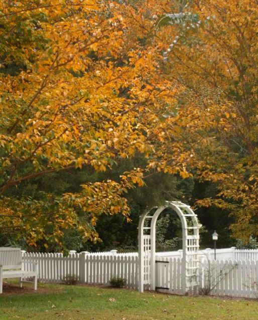 Crepe Myrtles frame mr. gardener's fence in yellows and golds