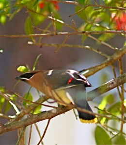 cedar waxwing in foster holly
