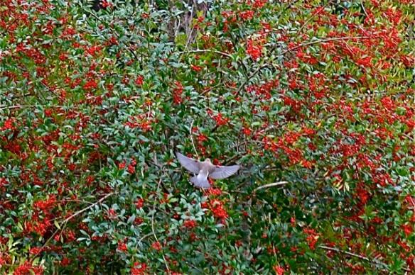 The arrival of cedar waxwings