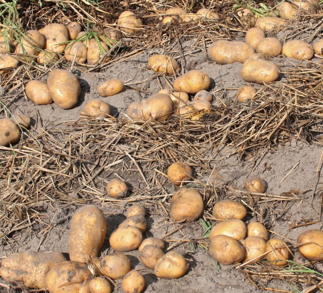 Potato Harvest | Breaking New Ground in Zone 6
