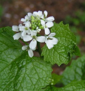 Garlic_Mustard_close_800