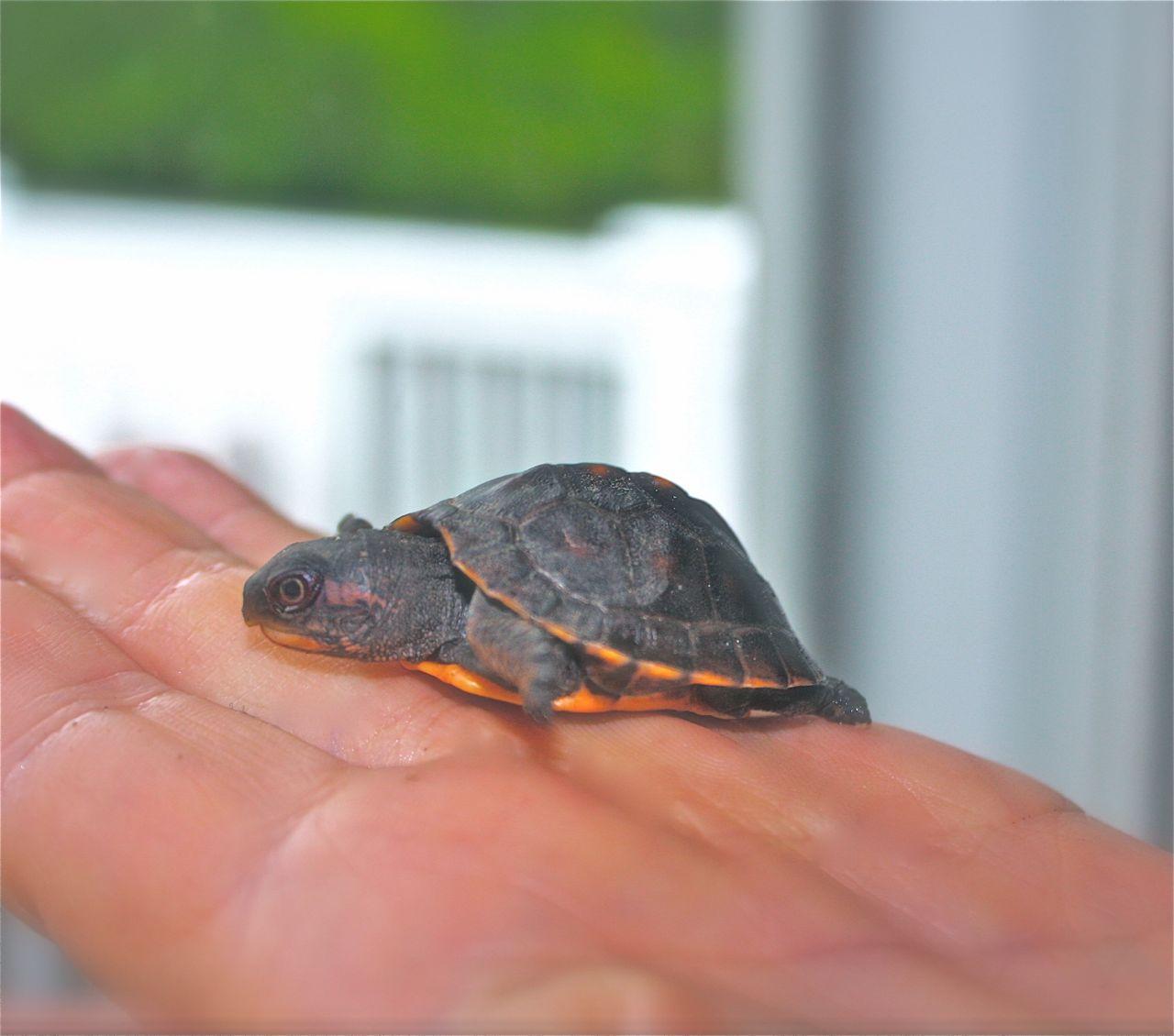 Baby Turtle Passing Through.. Breaking New Ground in Zone 5