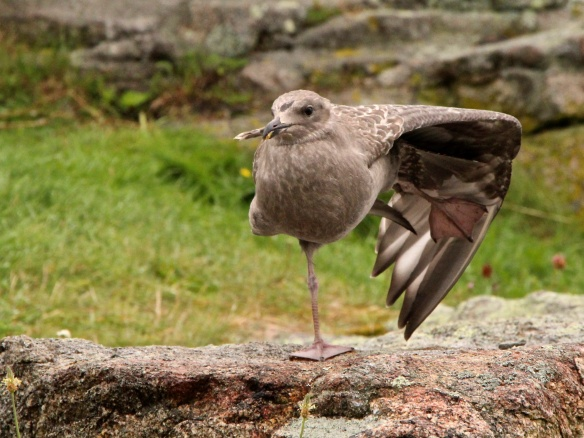 Young gull on Star Island