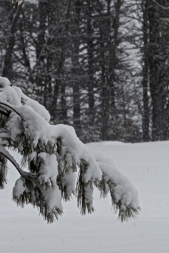 Snow on White Pine