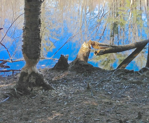 The work of beavers