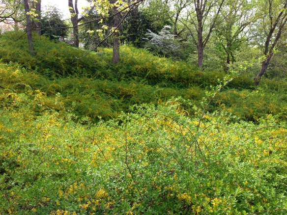 forsythia hill