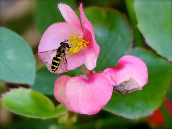 Hoverfly on begonia