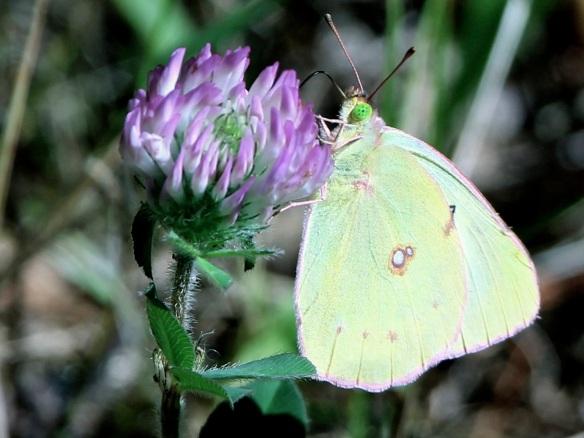 sulphur.butterfly