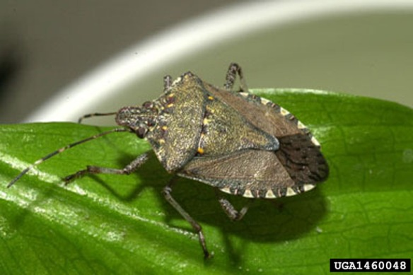 The Brown Marmorated Stink Bug need to be reported if seen in NH. (Wikipedia photo)