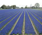Muscari Fields