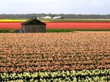Fields of tulips