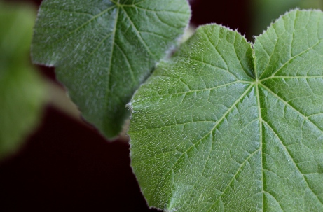 cantaloupe leaves