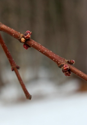 Red Maple Buds