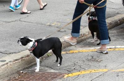 Many, many dogs along parade route