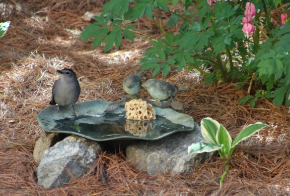 gray catbird in the ground bath