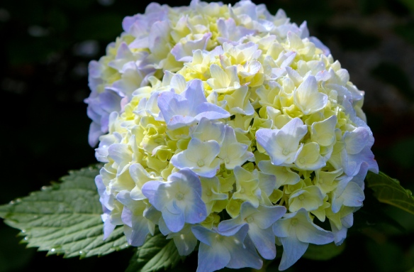 First Bloom... 'Hydrangea macrophylla'