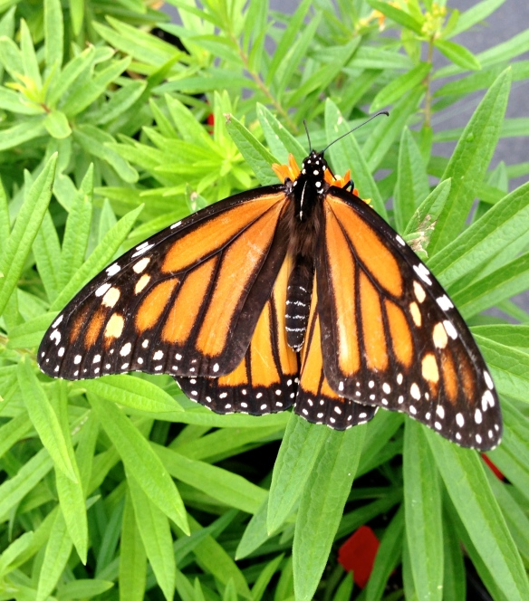 monarch butterfly at Rolling Green Nursery, NH