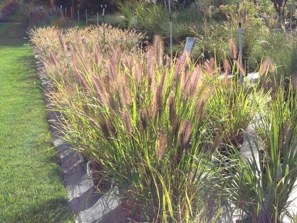 grasses at Rolling Green Nursery