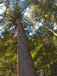 ...didn't kill this White Pine.