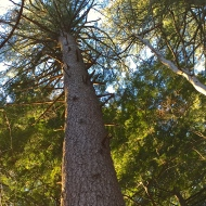...didn't kill this White Pine.