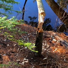 Beavers live nearby