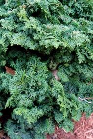 Dwarf Hinoki Cypress