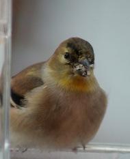 Goldfinch sunflower seeds
