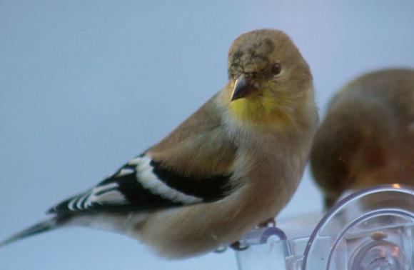WinterGoldfinch