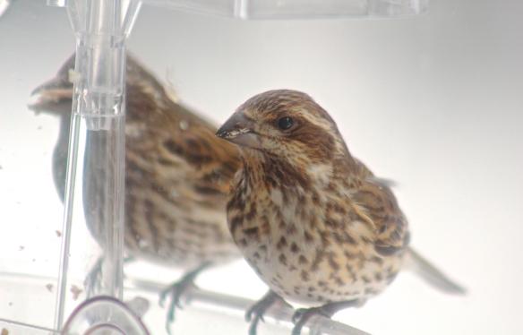 Female P. Finch