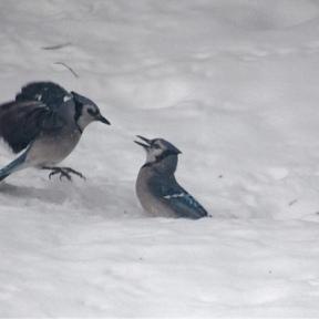 Bully Blue Jay on left