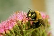 male carpenter bee