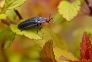 winter firefly on spirea