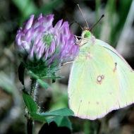 sulphur-butterfly