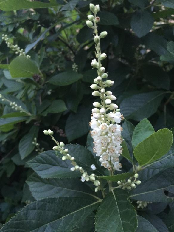 Summersweet (Clethra alnifolnia)