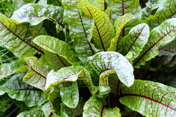 Red-veined Sorrel