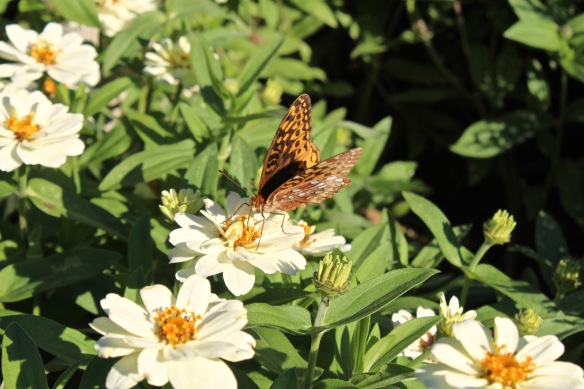 great-spangled-fritillary