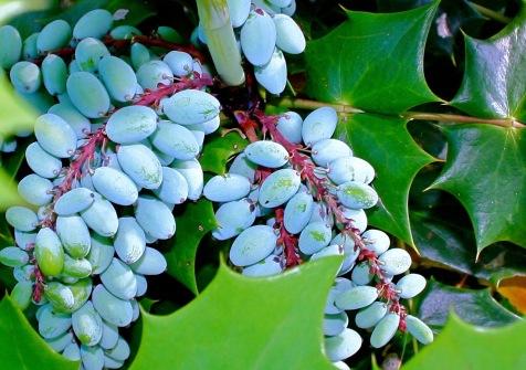 mahonia berries in Virginia
