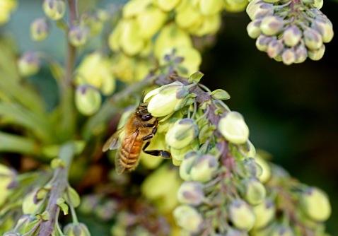 honeybee on mahonia