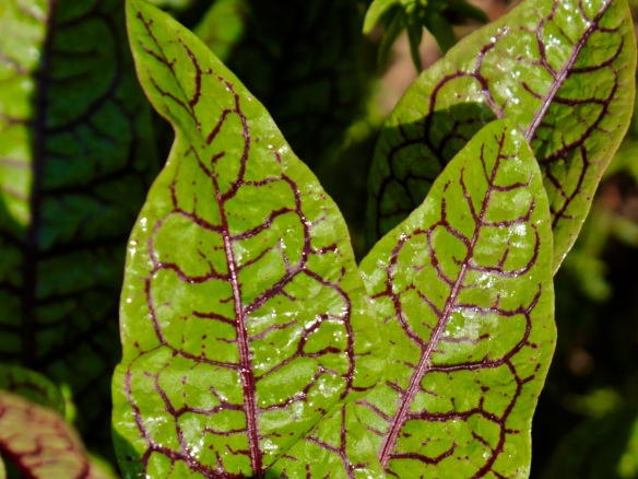 red-veined-sorrel