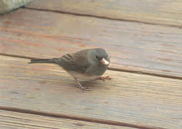 junco (Junco hyemalis) female with sunflower kernel