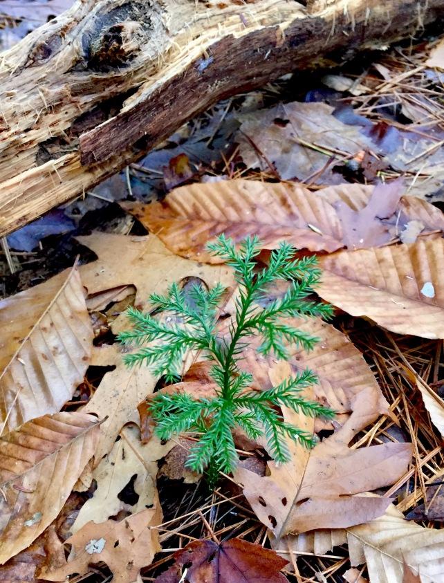 princess pine